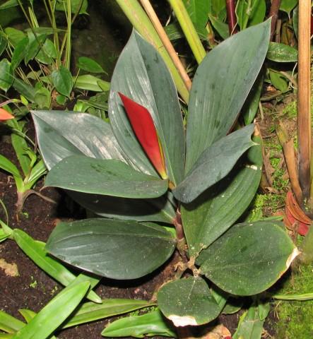 Costus_erythrophyllus-MarcoZamora-rs