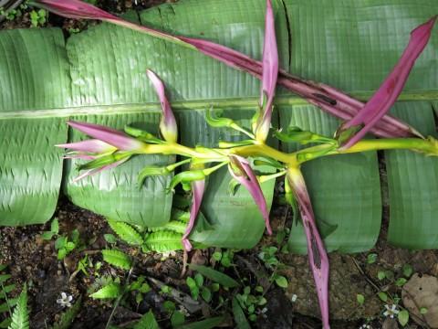 Hel08-Podocarpus6