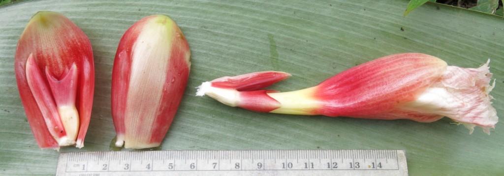 PodocarpusForm1