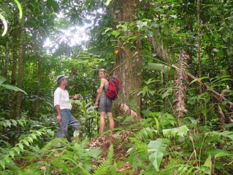 TREE - Pleiodendron sp.